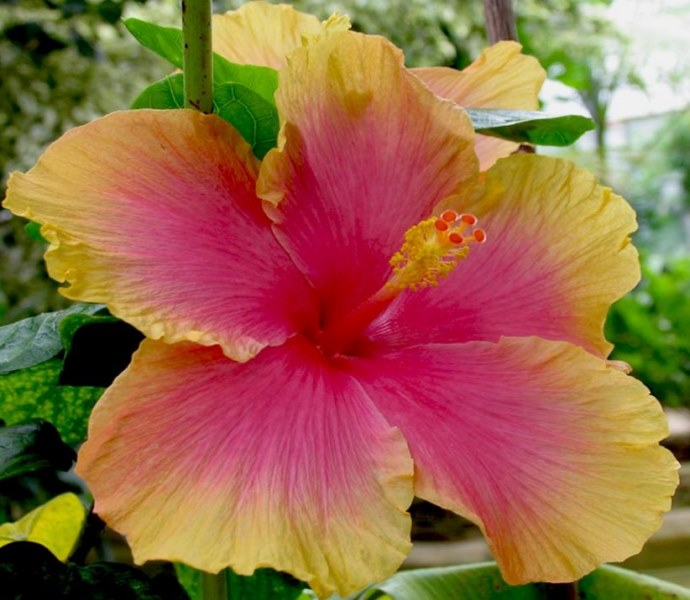 hibiscus rose-jaune
