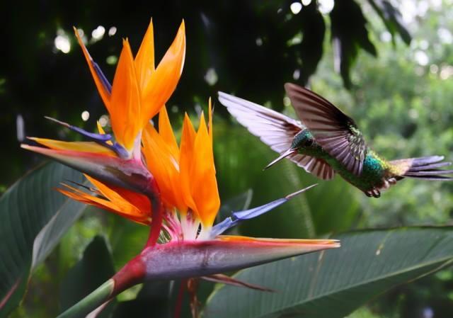 La fleur Oiseau de paradis, et un bel oiseau Colibiri.)