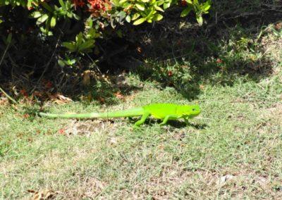 Jeune iguane dans le jardin à Montauban, Le Gosier